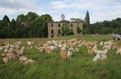 spektrmodule: ultrafunnypictures: 222 Golden Retrievers Gather in Scotland their purpose is unknown and likely sinister