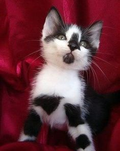 Cutest black and white kitten with an amazing coat pattern.