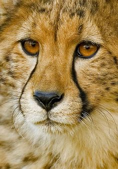 ~~Endangered II ~ Cheetah portrait by Mundy Hackett~~ (100% of proceeds from all sales of this image will be donated to the Cheetah Conservation Fund)