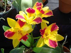 Potinara Orchid