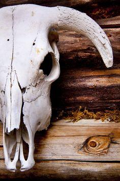 skull of a bull