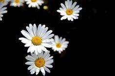 Daisy Fleabane flower with black background, Cheongju, South Korea