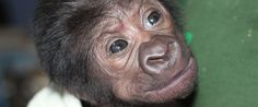 PHOTO: The Bristol Zoo released this photograph of a baby gorilla that was born by caesarean at the zoo, Feb. 12, 2016.