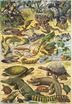 vintage prints amphibians and reptiles | Reptiles Original Vintage Print 55 Years Old Lithograph Larousse ...