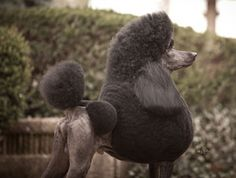 London-A Standard Poodle is the Non-Sporting Group winner of the 2012 Show Dogs of the Year awards.