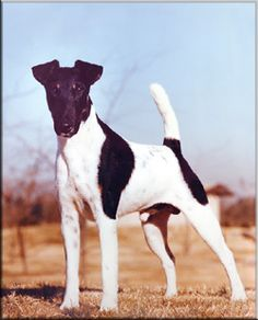 Ch. Ttarb The Brat - - - - - - - - - - - - -Smooth Fox Terrier