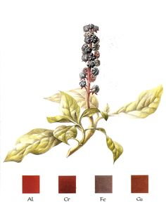 Natural dyeing: Pokeweed