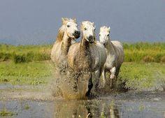 White horses of the Camargue, France.  © Jim Zuckerman.
