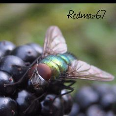 Fly on his blackberry