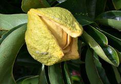 Flor de Guanaba