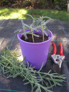 Propagate lavender now after the wet, humid summer--we're not quite so humid....but good to know anyway.