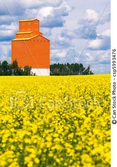 Orange grain elevator sits on the Canadian prairies with a field of canola ........... canstockphoto.com