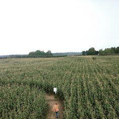 Corn maze #fall #Michigan by jasmind86