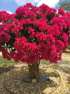 Bougainvillea, a popular plant in Florida Exotic Flowers, Beautiful Flowers, Bonsai For Beginners, Bougainvillea Bonsai, Montreal Botanical Garden, Unique Trees, Flowering Trees, Tropical Garden, Trees To Plant
