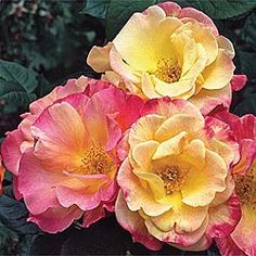 Jacob's Robe Climbing Rose... This will look great to cover up my chain-link fence!!
