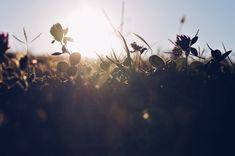 Atardecer Floral, Dandelion, Pastel, Stud Earrings, Flowers, Flower Photos, Naturaleza, Plants, Fotografia