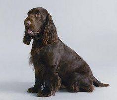 Endangered Dog Breeds Field Spaniel Cockerspanielchocolate Dog