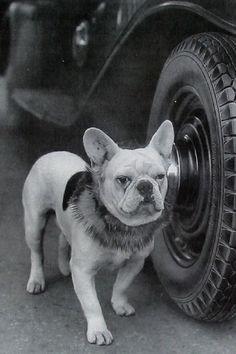 Vintage French Bulldog photo.