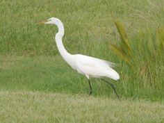 Great egret near the Seminole Community Library.