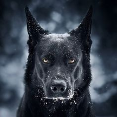 Wicked Training Your German Shepherd Dog Ideas. Mind Blowing Training Your German Shepherd Dog Ideas. Black German Shepherd Puppies, Black German Shepherd Dog, German Shepherd Pictures, German Shepherd Memes, German Shepherd Colors, Beautiful Dogs, Animals Beautiful, I Am Batman, Batman Dog