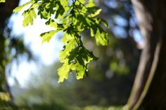 leaves oak photography  sun beautiful light http://heelsandpeplum.wordpress.com/
