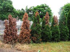 Új kártevő pusztít a kertekben, amit ki sem lehet irtani! Vineyard, Plants, Outdoor, Outdoors, Outdoor Life, Garden, Plant, Planting, Planets