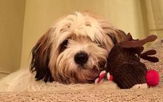 Maisie the Tibetan Terrier with Rudolf!