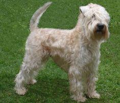 Soft-Coated-Wheaten-Terrier-1.jpg (634×542)