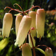 Goethe Pflanze Bluete weiß rose Kalanchoe pinnata