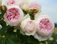 Fil Roses - Le Temps des Roses : roses anciennes et rosiers anglais