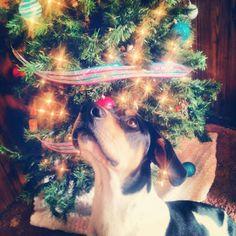My Treeing walker coonhound Vega<3