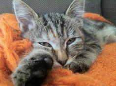 - #gevonden op 4/01/14 in #Essene, vlakbij het Sparrenbos - tijgerkitten (v), op de rug ook wat rossig gevlekt - ongeveer 10 weken oud - draagt roze halsbandje 'Kitty Cat' met belletje  - geen chip, gecheckt door dierenarts https://www.facebook.com/annickvanbroeck Verloren en gevonden huisdieren heeft de foto van Annick Van Broeck gedeeld.