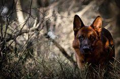 german shepherd wallpaper   Dog forest german shepherd wallpaper   4611x3054   433515 ...