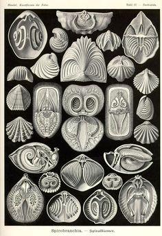 Spirobranchia by Ernst Haeckel; Kunstformen der Natur, 1900