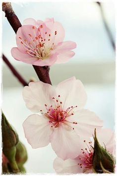 Apple blossom♡