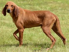 Johnny W. Bed is an adoptable Redbone Coonhound searching for a forever family near Longview, TX. Use Petfinder to find adoptable…