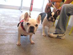 Ms. Hanabi and friend, French Bulldogs