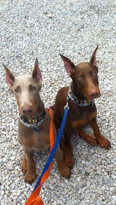 Titus & Apollo | Dobie Friendzy