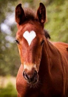 This elegant horse was born with a perfect love heart on his lovely head, nature is amazing! This elegant horse was born with a perfect love heart on his lovely head, nature is amazing! Cute Horse Pictures, Beautiful Horse Pictures, Most Beautiful Horses, Horse Photos, Pretty Horses, Horse Love, Animals Beautiful, Cute Animals, Crazy Horse