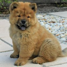 CHOW CHOW...love of my life as a kid. (Sam)