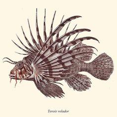 Antique Lionfish Print Pterois 1874 Restored by TheCuratorsPrints