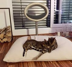 Die Beiden lieben Ihre neuen Tierbetten! Kratzbaum, cat scratcher, tiragraffi per gatti, Katzenkissen DIVAN Due, cat cushion DIVAN Due, cuscini per gatti DIVAN Due, http://www.pet-interiors.de/de/letto-gatto_pg8