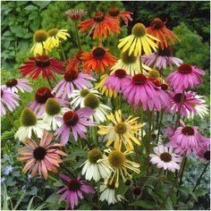 Echinacea Paradiso - 260685 - Perennials D to F - Perennials A to Z - Perennial Plants - Gardening Red Flowers, Colorful Flowers, Pretty Flowers, Deer Resistant Perennials, Sutton Seeds, Border Plants, Top Soil, Flower Seeds, Summer Garden