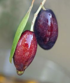 The Mission Olive is of five cultivars that is commercially viable for table olives & oil. Order and plant the Mission Olive tree from Willis Orchards! Olive Trees For Sale, Buy Olive Tree, Exotic Fruit, Tropical Fruits, Sugar Scrub For Face, Color Lavanda, Kalamata Olives, Greek Recipes, Fruit Trees