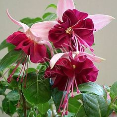 The genus Fuchsia contains about 100 different species and thousands of cultivar. Flowers Nature, Exotic Flowers, Amazing Flowers, Beautiful Flowers, Fuchsia Plant, Fuchsia Flower, Plantation, Shade Plants, Belle Photo
