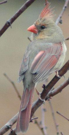 Beautiful Lady Cardinal (c) Shelia Bolt Rudesill Pretty Birds, Beautiful Birds, Animals Beautiful, Cute Animals, Exotic Birds, Colorful Birds, All Birds, Love Birds, Bird Pictures