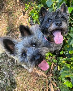 Sending all our love out to our furiends and their hoomans around the world! Valentines Day can be ruff if you dont. Doggies, Pet Dogs, Cairn Terriers, Cairns, Westies, Scottie, Pugs, Dog Breeds, Goats