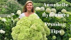 Tips on Pruning Annabelle Hydrangea Blooms