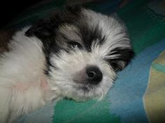 Awwwww. Lhasa Apso Puppies Pictures