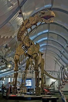 This picture shows a reconstruction of an Argentinosaurus skeleton in a special exhibition of the Naturmuseum Senckenberg (a natural history museum in Frankfurt, Germany). Argentinosaurus was a massive Sauropod dinosaur from the mid Cretaceous Period (around 95 million years ago).